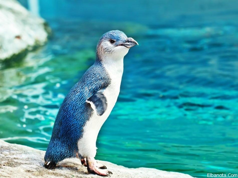 جميلة لطائر البطريق ..صور طائر haidar1418984423781.
