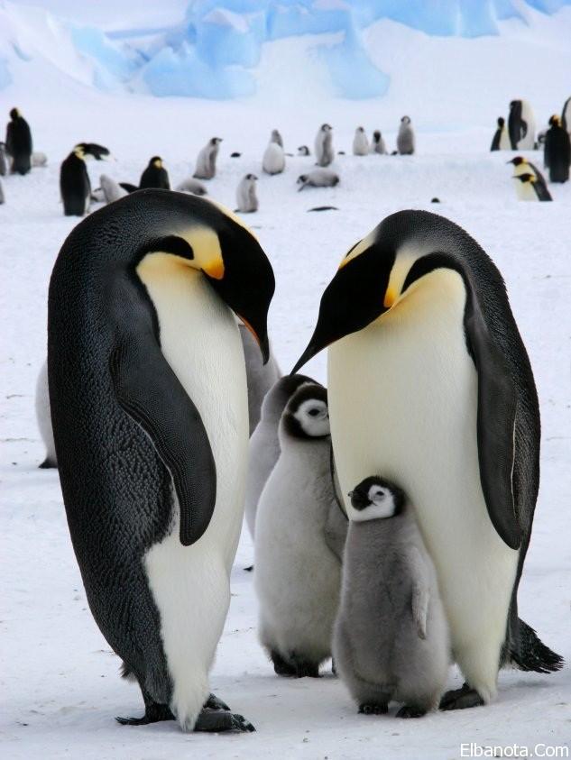 جميلة لطائر البطريق ..صور طائر haidar1418984456271.