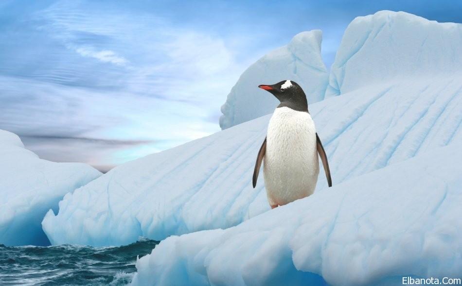 جميلة لطائر البطريق ..صور طائر haidar1418984532521.