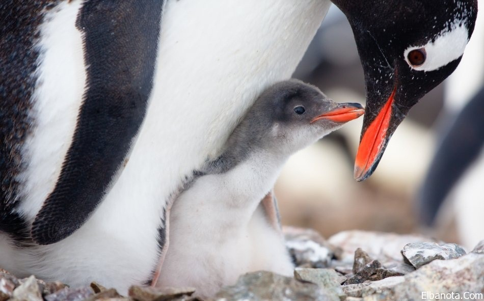 جميلة لطائر البطريق ..صور طائر haidar1418984573361.