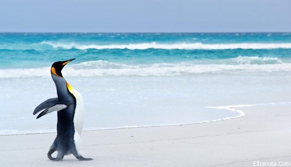 جميلة لطائر البطريق ..صور طائر haidar1418984624741.